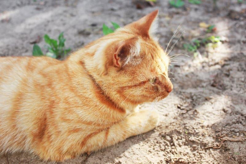 Härligt rött kattslut upp royaltyfria foton