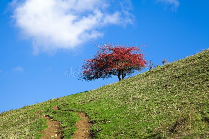 Härligt rött träd arkivfoton