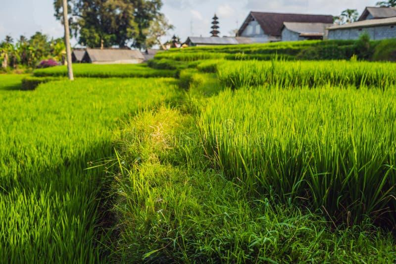 Härligt ris terrasserar brunn-bevattnade vulkaniska lutningar, Ubud, Bali fotografering för bildbyråer
