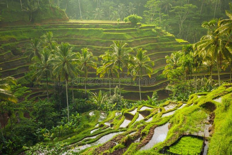 Härligt ris terrasserar i det moring ljuset, Bali, Indonesien royaltyfri foto
