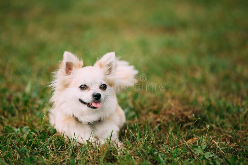 Härligt roligt ungt vitt Chihuahuahundsammanträde på grönt gräs arkivbild