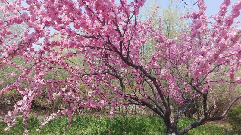 Härligt rosa träd för körsbärsröd blomning i dess fulla blom i vår arkivbild