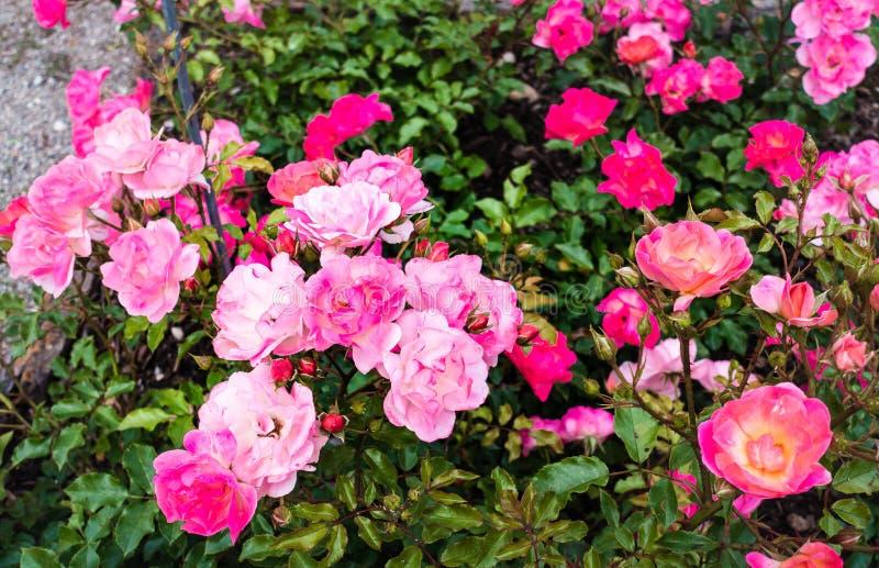 Härligt rosblommafält med gröna sidor i vårbakgrund för sommarvårbilder royaltyfri bild
