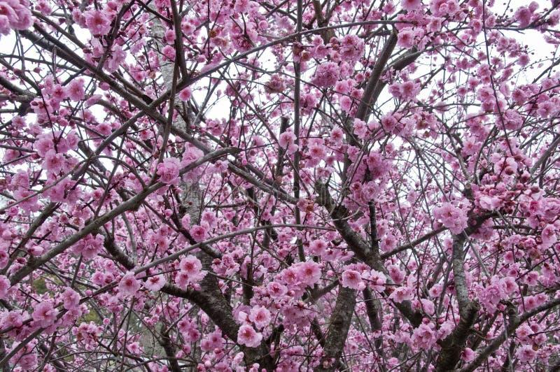 Härligt sakura för körsbärsröd blomning för full blom rosa träd royaltyfria foton