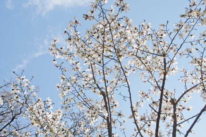 Härligt sakura för körsbärsröd blomning för full blom träd med blått ljust royaltyfria bilder
