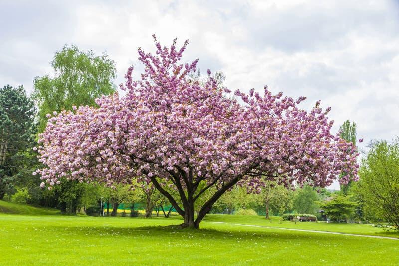 Härligt sakura träd i parkera fotografering för bildbyråer