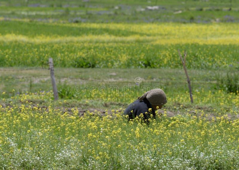 Härligt senapsgult blommafält i den Zanskar dalen, Leh Indien arkivbild