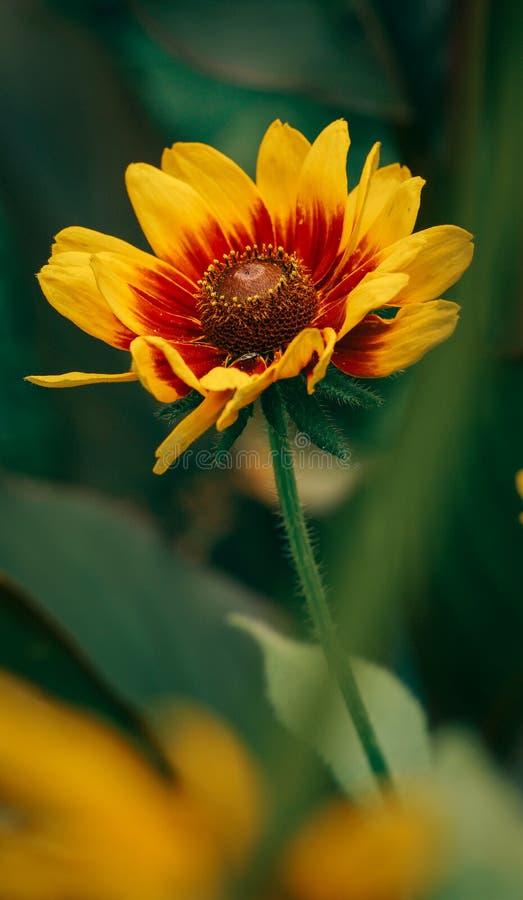 Härligt skott för närbild för makro för blomma för Arizona solfilt royaltyfri foto