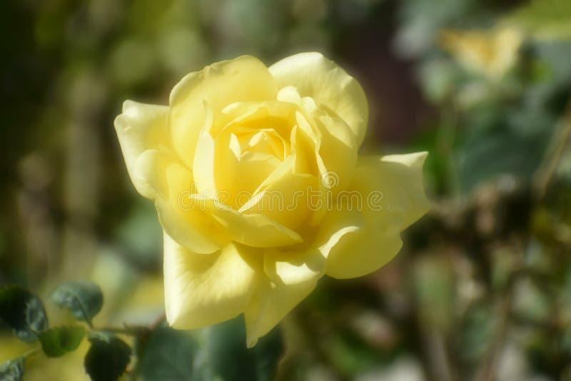 Härligt slut upp av den gula rosen med att mjukna effekt royaltyfri bild