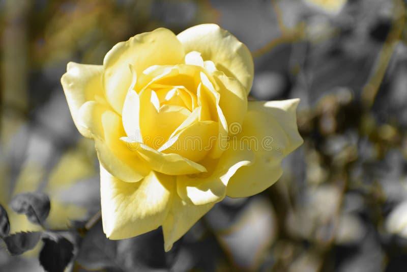 Härligt slut upp av den gula rosen med selektiv färg arkivbilder