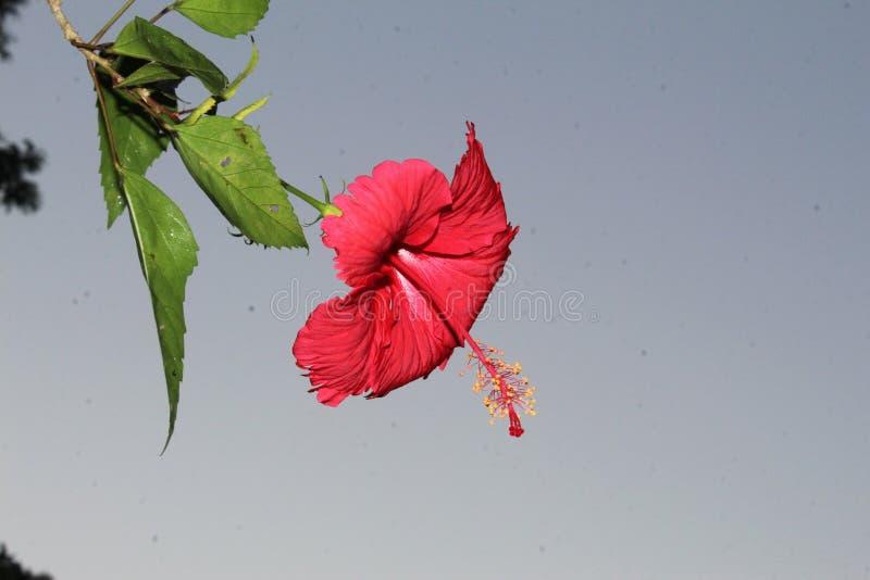 Härligt slut upp av den röda hibiskusblomman mot blå himmel med tomt utrymme för text arkivbilder