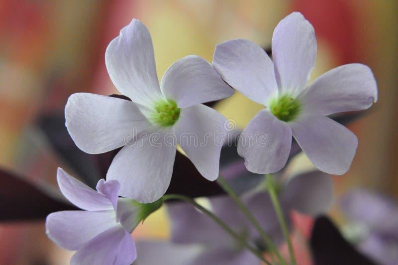 Härligt slut upp av 3 vita blommor för rosa färger och royaltyfria bilder