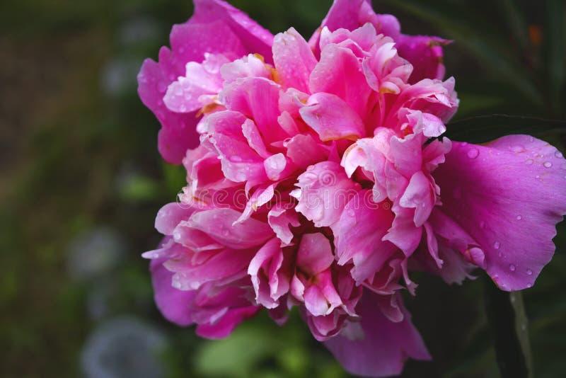 Härligt slut upp fotoet av den rosa tulpan royaltyfri fotografi