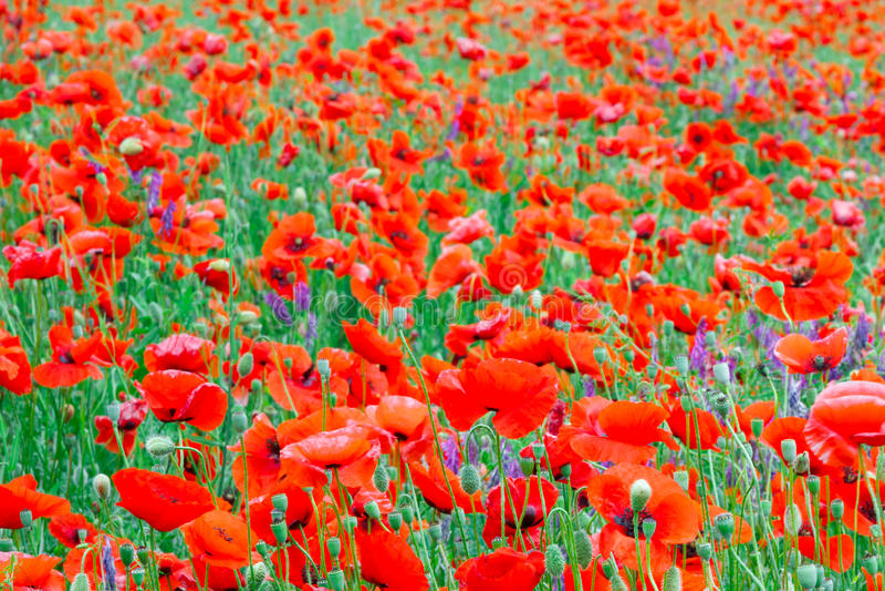 Härligt slut upp i vallmofält Begrepp för bakgrund för vårsommarnatur Inspirerande och koppla av blommanaturbakgrund arkivbilder