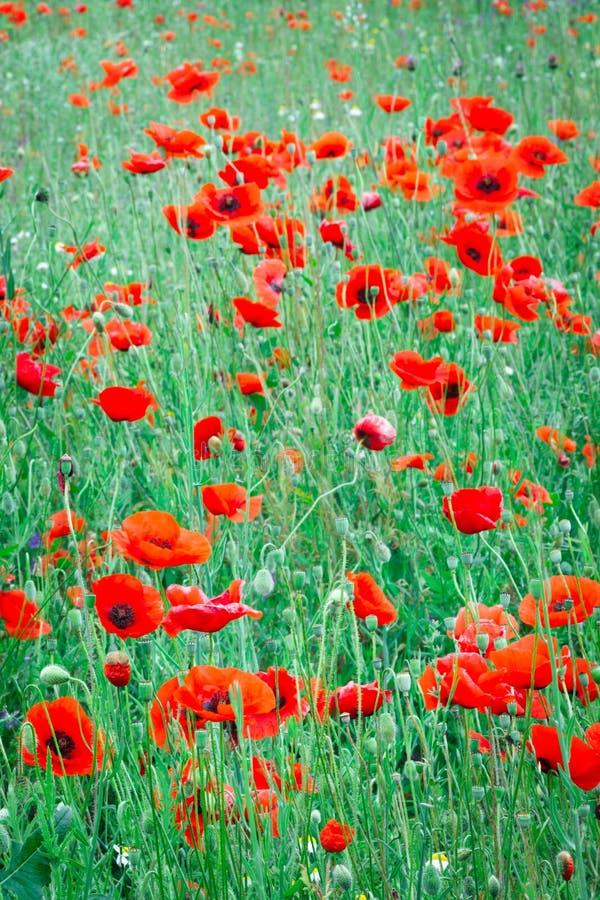Härligt slut upp i vallmofält Begrepp för bakgrund för vårsommarnatur Inspirerande och koppla av blommanaturbakgrund royaltyfria foton