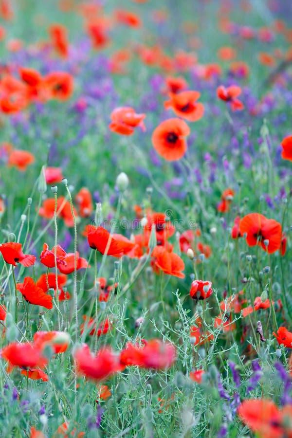 Härligt slut upp i vallmofält Begrepp för bakgrund för vårsommarnatur Inspirerande och koppla av blommanaturbakgrund arkivfoto