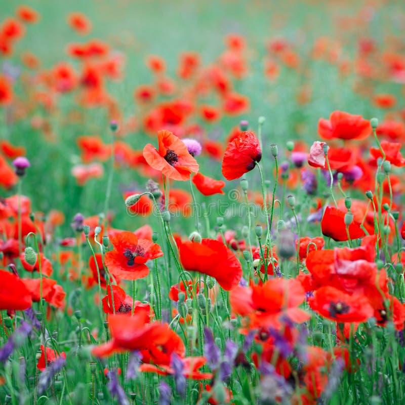 Härligt slut upp i vallmofält Begrepp för bakgrund för vårsommarnatur Inspirerande och koppla av blommanaturbakgrund royaltyfri bild