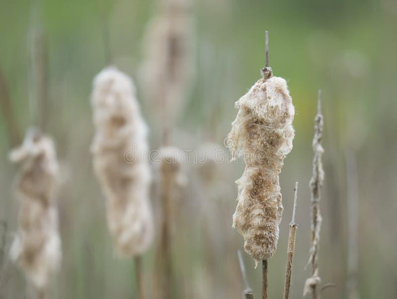 Härligt slut upp mjuka fluffiga beigea gräs eller vassen på grön bokehbakgrund arkivbild
