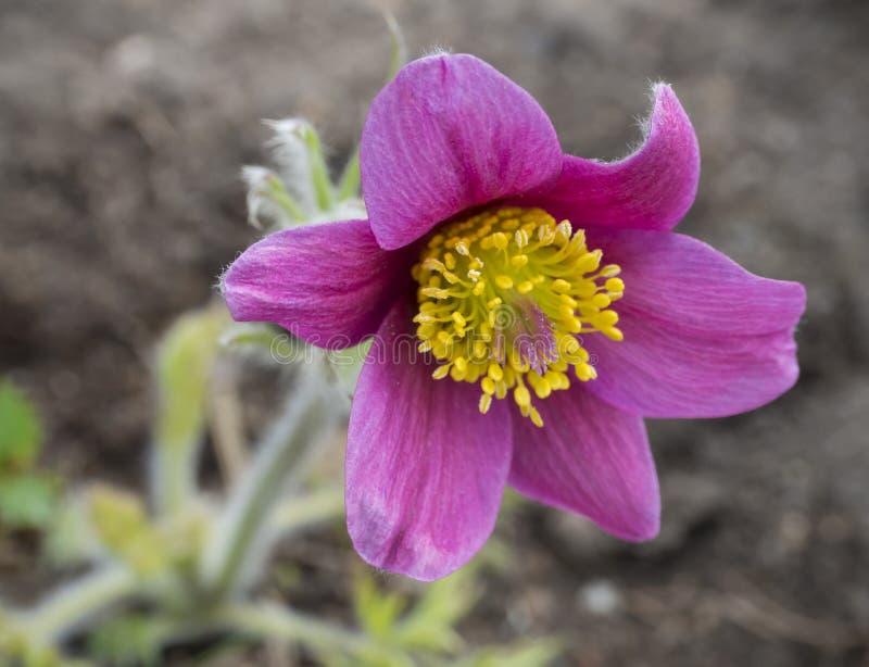 Härligt slut upp Pulsatillapratensis Purpurfärgad violett blomma för pasque för blommaknopp liten, präriekrokus och cutleaf arkivfoton