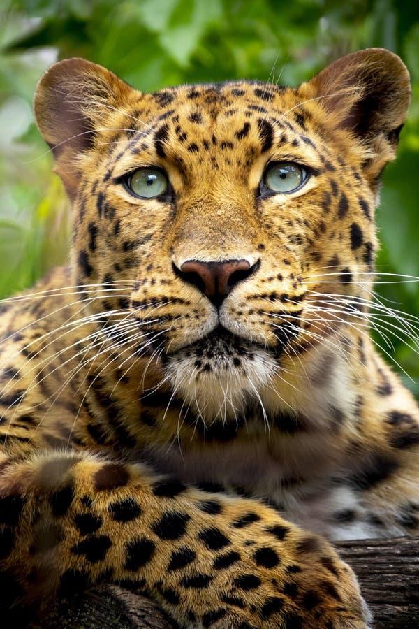 Härligt slut upp ståenden av en utsatt för fara Amur leopard royaltyfri foto