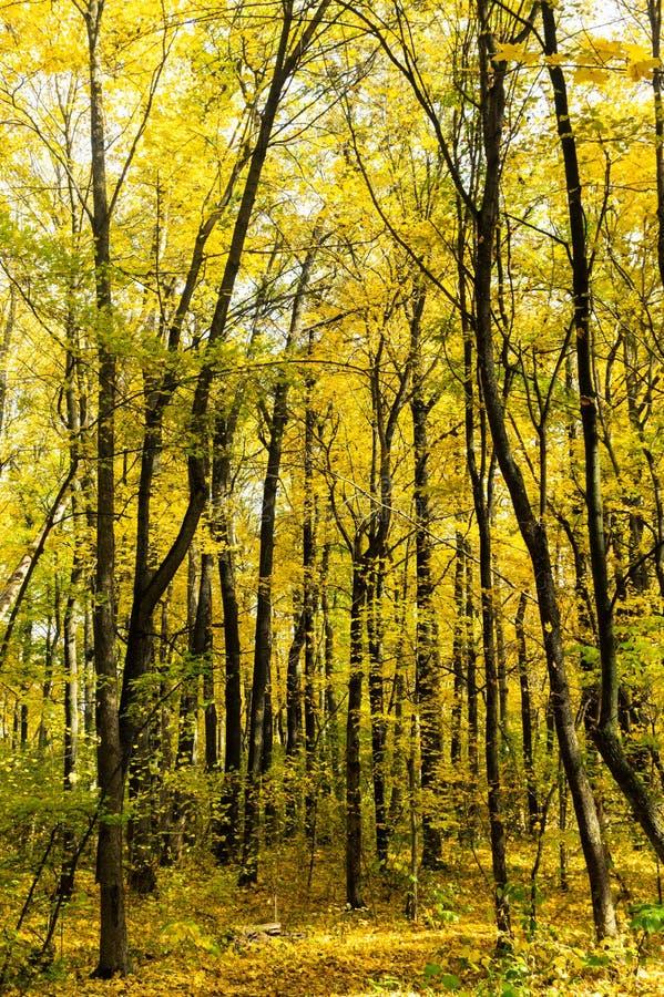 Härligt soligt höstlandskap av skogen med stupade sidor och gula träd arkivbilder
