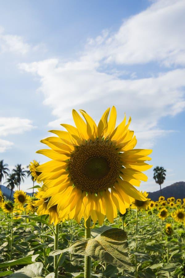 Härligt solrosfält arkivfoto