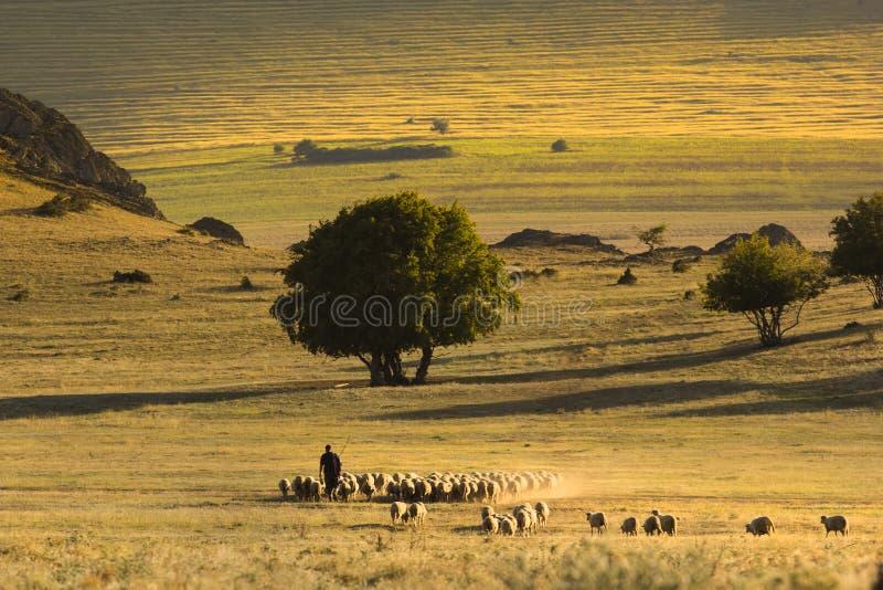 Härligt solskenlandskap med herden och får royaltyfri bild