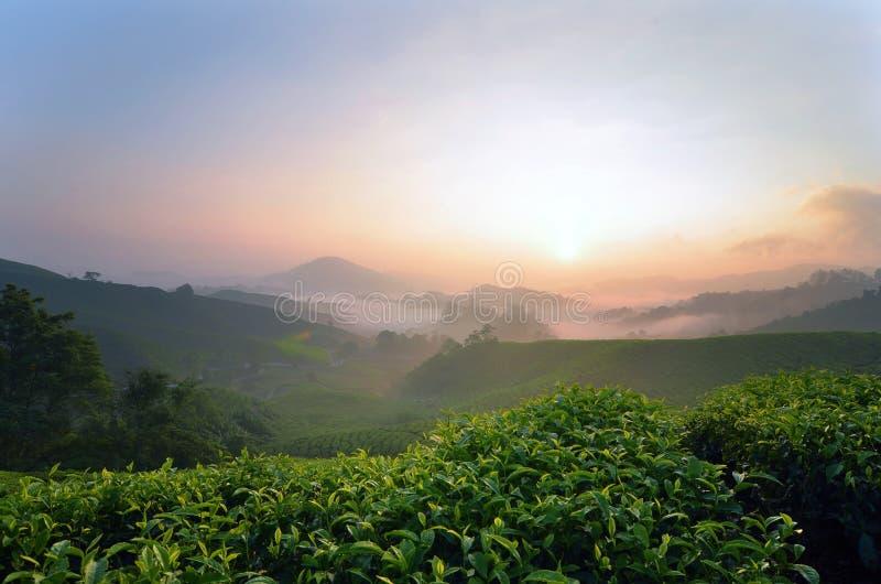 Härligt soluppgånglandskap av tekolonin som lokaliseras i Cameron Highland, Malaysia arkivfoto