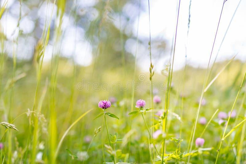 Härligt sommarlandskap med att blomstra ängen och blommor lös vårsommar blommar att blomma arkivbild