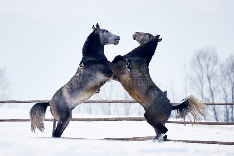 Härligt spela för hästar som är utomhus- i vinter arkivbilder