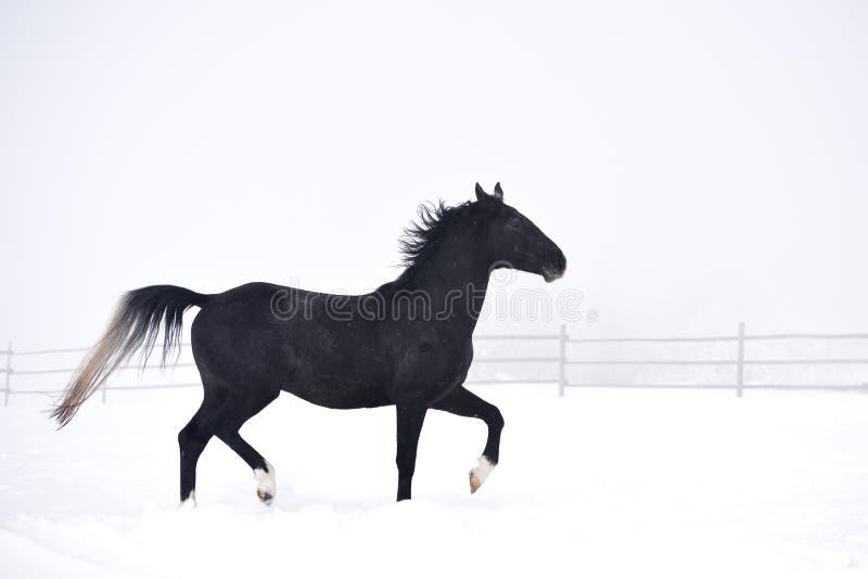 Härligt spela för hästar som är utomhus- i vinter arkivfoton