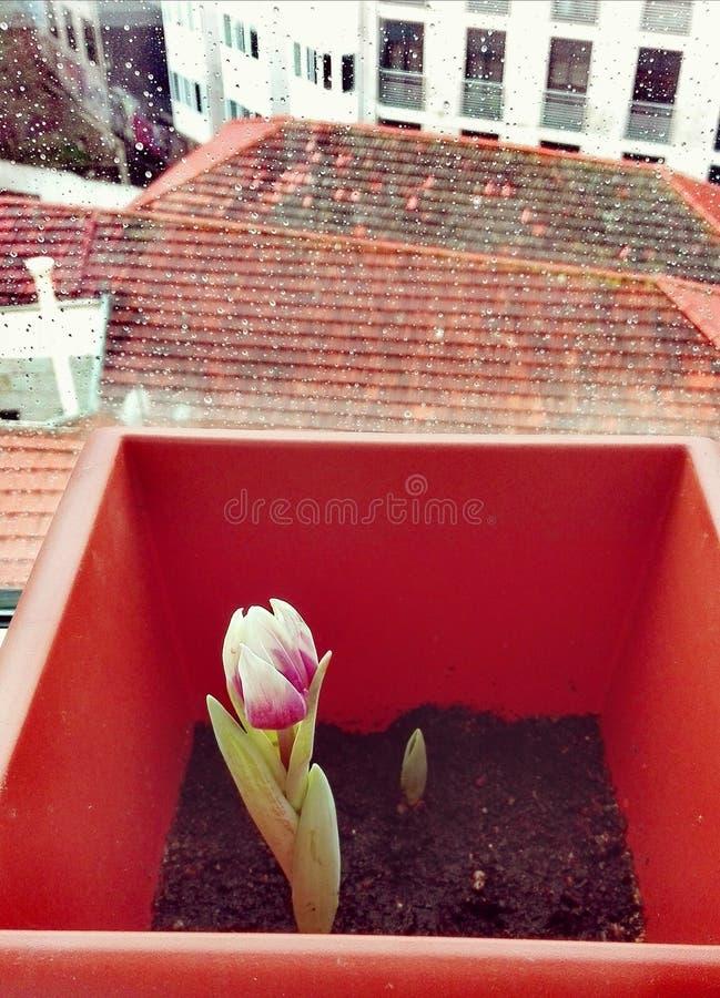 Härligt spira för tulpan royaltyfri foto