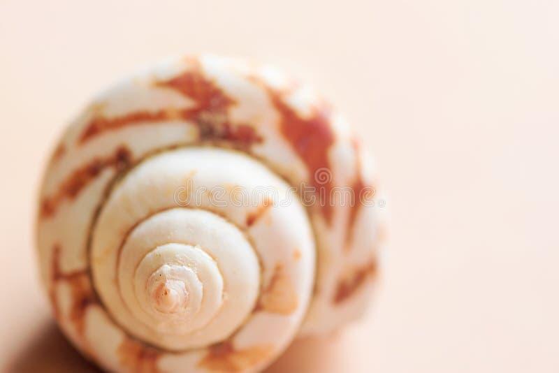 Härligt spiralt skal för vitt hav med den randiga modellen på ljus pastellfärgad peachy rosa bakgrund Minimalist moderiktig utfor royaltyfria foton