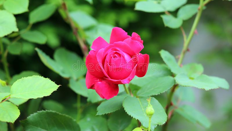 Härligt steg i rosa och röd blomman för trädgården, med grön bakgrund royaltyfri bild