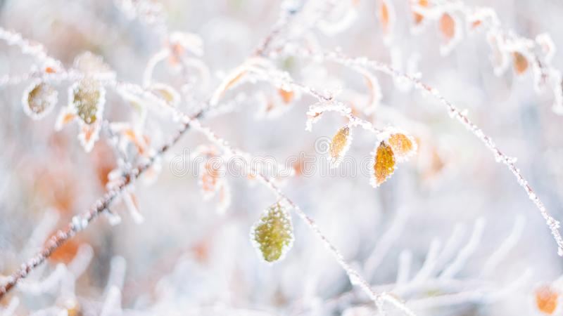 Härligt suddigt delikat baner för bakgrund för vinterfrostnatur Täckt is, frostsidor stänger sig upp Frosen filial av trädet royaltyfri bild