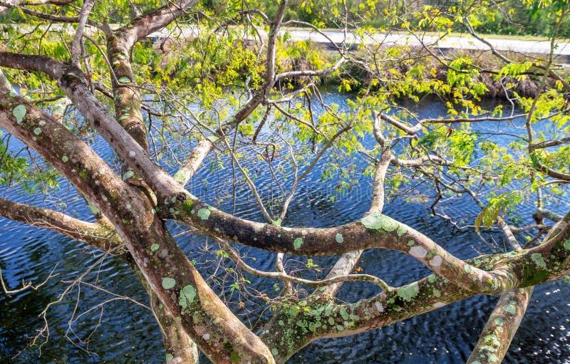 Härligt träd över Evergladesträsk royaltyfri bild