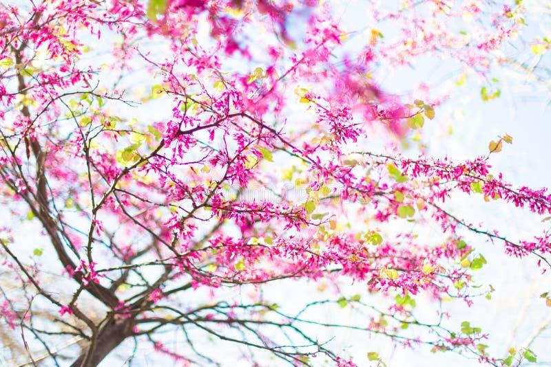 Härligt träd för körsbärsröd blomning i vår över suddig bakgrund Vårnaturbaner royaltyfri fotografi