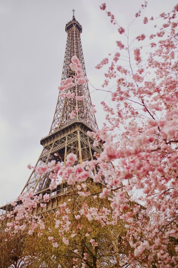 Härligt träd för körsbärsröd blomning och Eiffeltorn royaltyfri bild