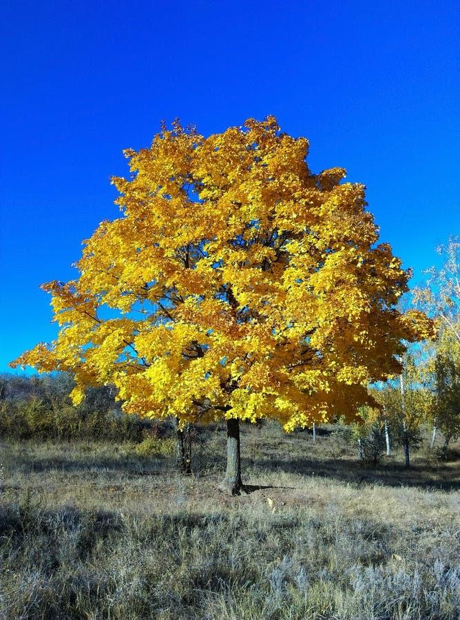 Härligt träd med gulingsidor i höst arkivfoton