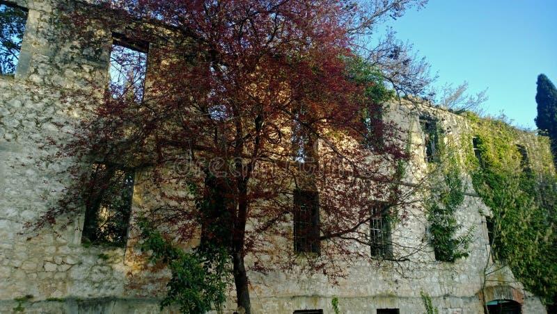 Härligt träd med ljusa röda sidor på en bakgrund av den förstörda övergav gamla byggnaden arkivbilder