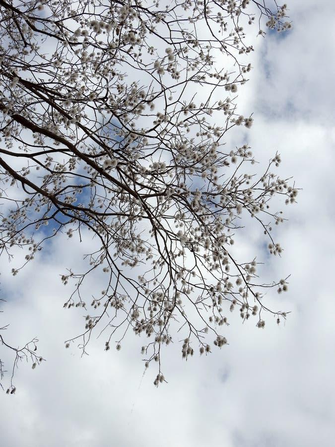 Härligt träd med vitt ludd, Litauen royaltyfria bilder