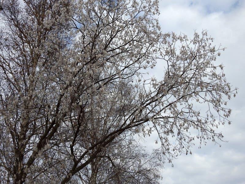 Härligt träd med vitt ludd, Litauen fotografering för bildbyråer