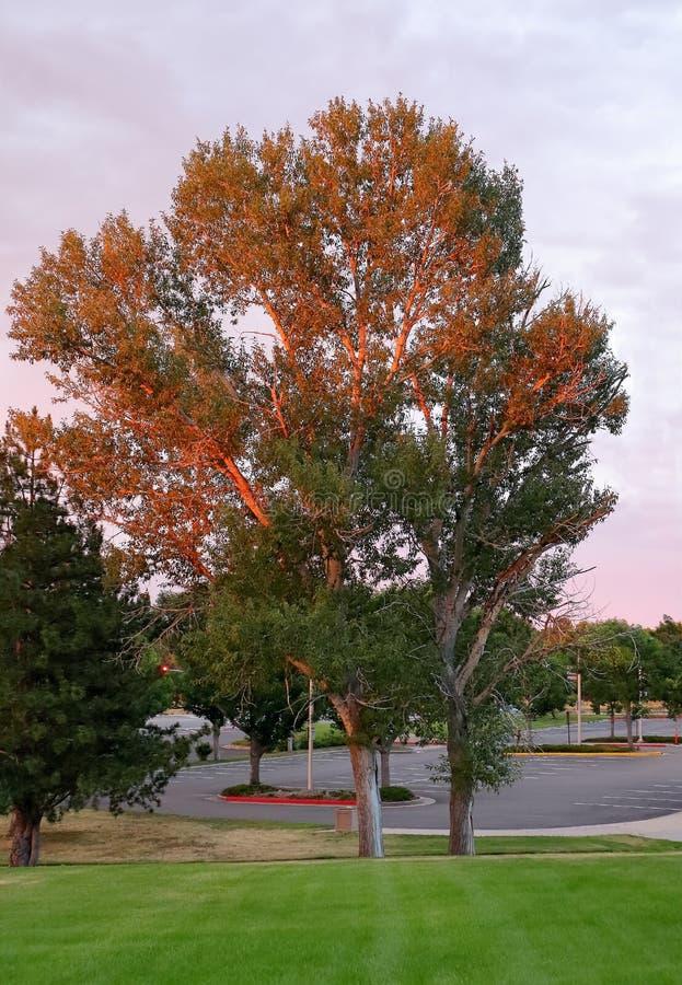 Härligt träd som tänds av solnedgång arkivbilder