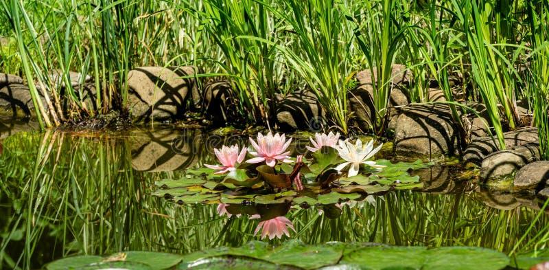 Härligt trädgårddamm med att förbluffa rosa näckrors eller lotusblommablommor Marliacea Rosea Nympheas är blom bland sidor arkivfoto