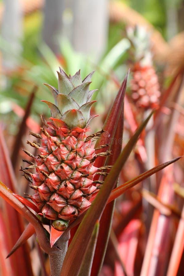 härligt trädgårds- ananasbarn arkivfoton