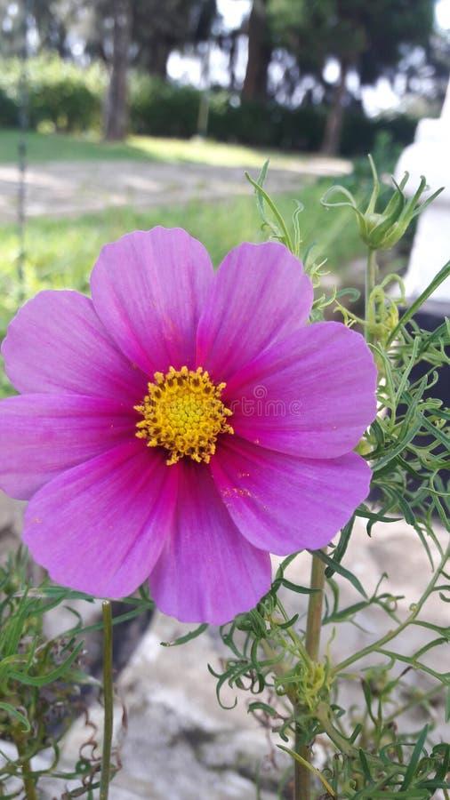 härligt trädgårds- kosmos blommar lilor arkivbilder