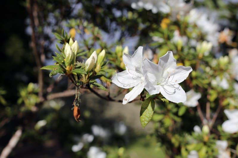 Härligt växa för vita blommor från en trädfilial i madeira arkivfoto