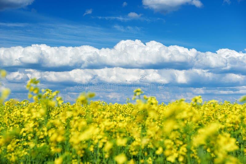 Härligt vårlandskap, gul blomma i rapsfröfält arkivbilder