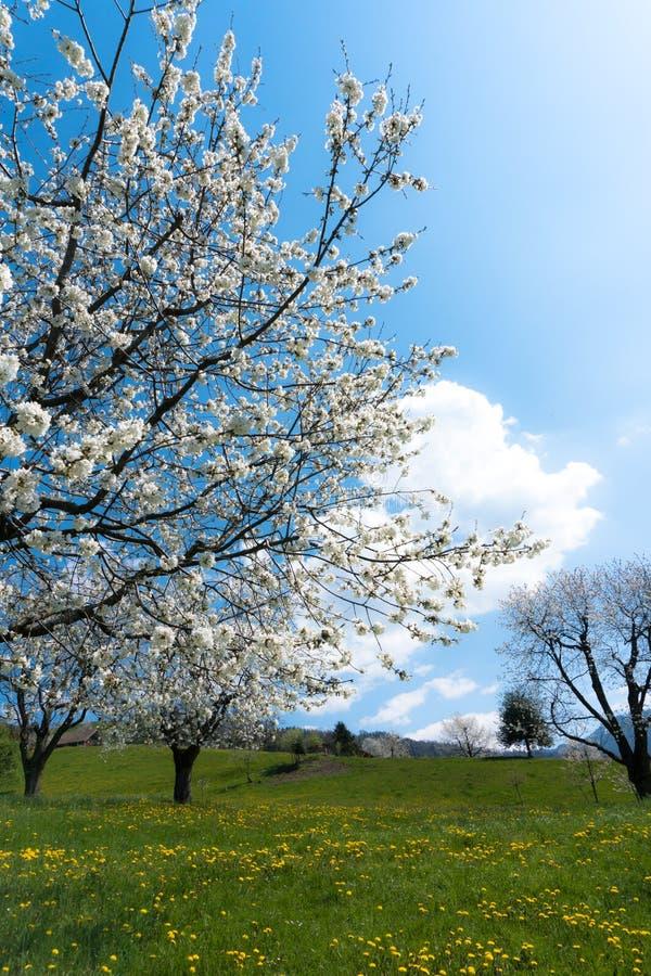 Härligt vårlandskap med gröna fält och att blomstra körsbärsröda träd arkivbilder