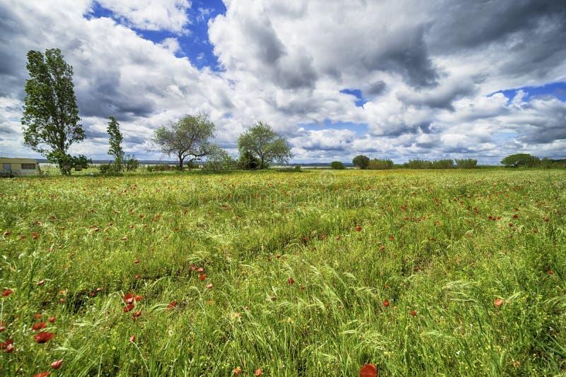 Härligt vallmofält med träd och blå himmel royaltyfri bild